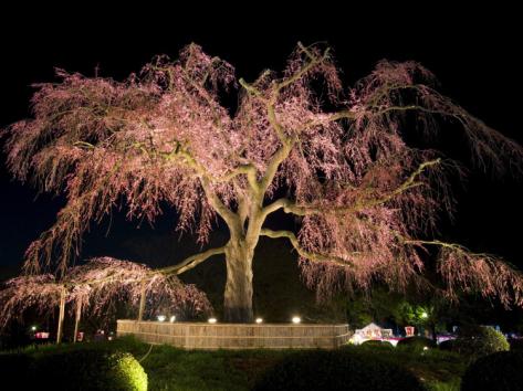Pohon Sakura Raksasa di Maruyama Park