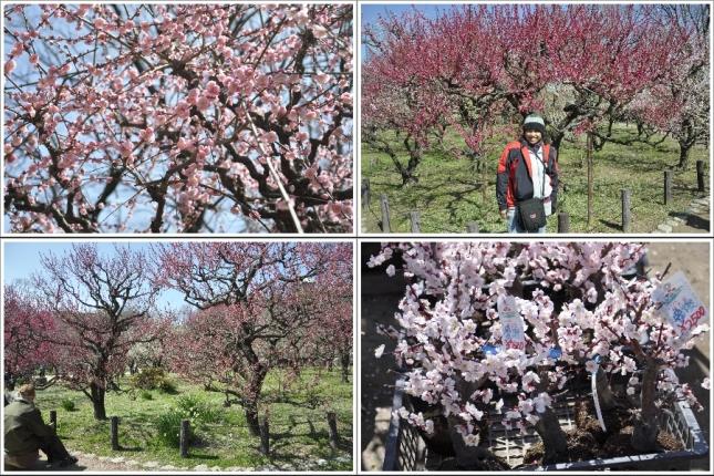 Kebun Sakura di Taman Osaka Castle