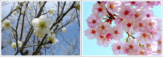 Bunga Plum - Plum Blossom (Kiri) dan Bunga Sakura - Cherry Blossom  (Kanan). Photo By : Quirky Japan Blog