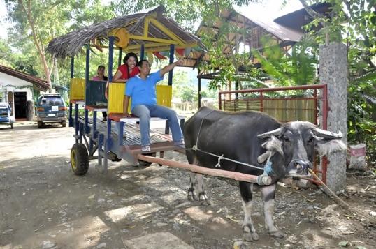 Naik Kebo di Filipina